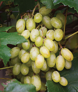 Grape, Neptune PP 12,302, , large